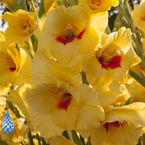 Gladiolus Platini